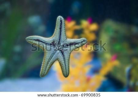 Young Starfish Stuck to Fish tank Wall - stock photo
