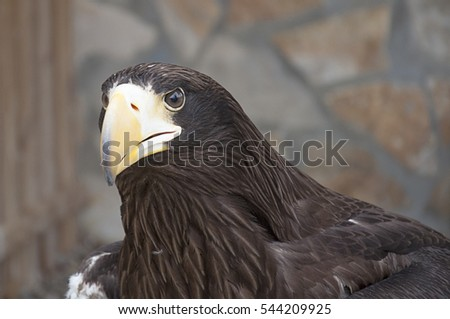 Young Steller's sea eagle (Haliaeetus pelagicus)
