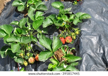 Young strawberry in a garden bed on a strawberry farm. - stock photo