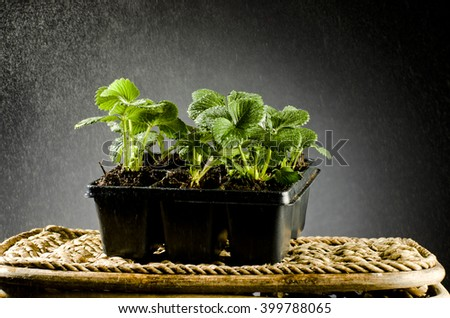 Young strawberry plant in a black plastic pot isolated on black background. - stock photo