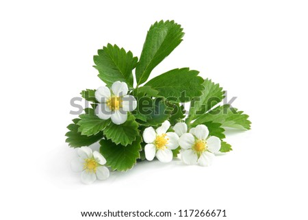 Young strawberry plant on a white background - stock photo