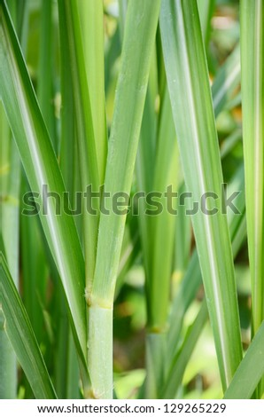 Young sugar cane stem. - stock photo