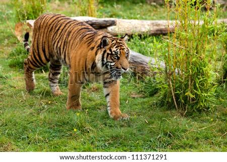 Young Sumatran Tiger Prowling Through Greenery Panthera Tigris Sumatrae - stock photo