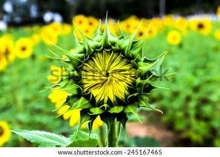 young sunflower - stock photo