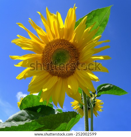 Young sunflower against blue sky, photographed from below in close-up  - stock photo