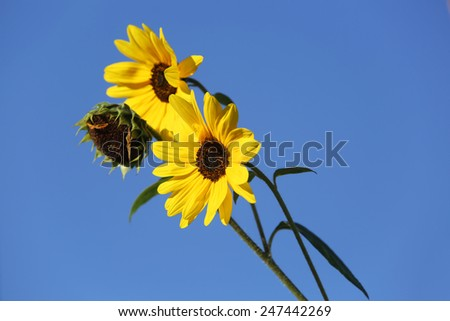 Young Sunflower Bloomed  - stock photo