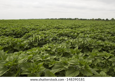 young sunflower field - stock photo