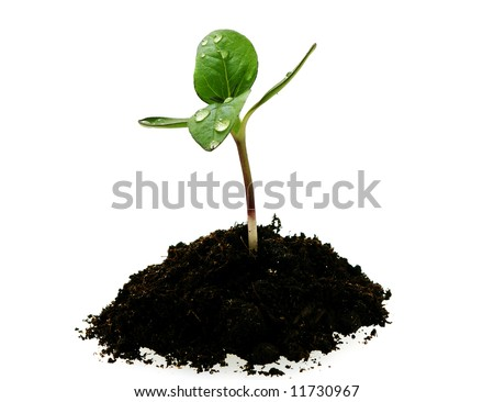 young sunflower sprout in the soil with droplets isolated over white background - stock photo
