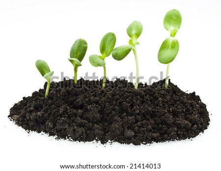 young sunflowers sprouts in the soil isolated over white - stock photo