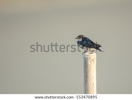 Young Swallow with pale background