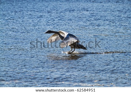 young swan landing on water - stock photo
