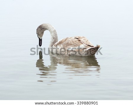 Young swan with reflection