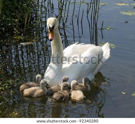 Young swans  with mother in spring - stock photo