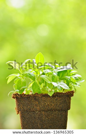 Young sweet basil plants in peat pot