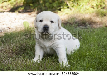 young sweet labrador puppy playing outdoors