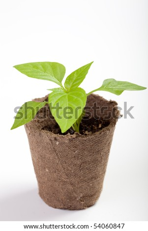 Young sweet pepper seedlings in a pot of peat on a neutral background - stock photo