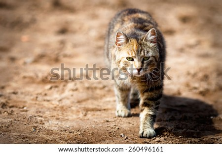 Young tabby cat goes on the hunt