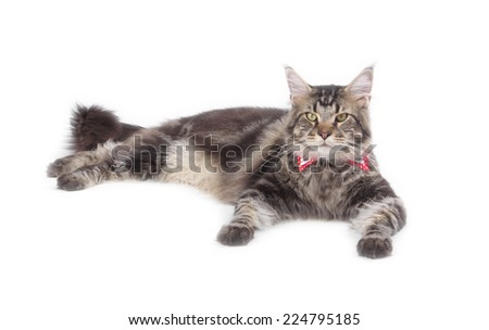 Young tabby Maine Coon cat isolated on white background - stock photo
