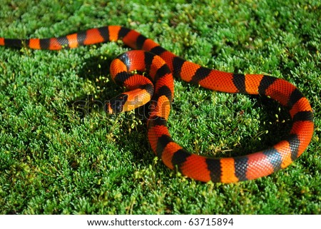 Young Tangerine Milk Snake