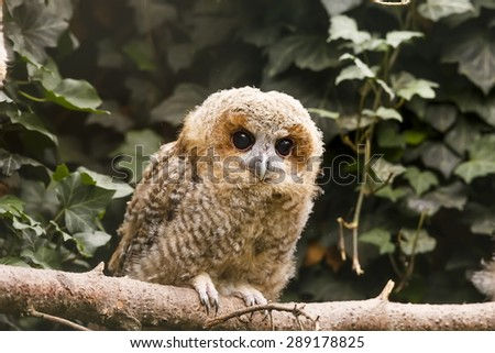young tawny owl - stock photo