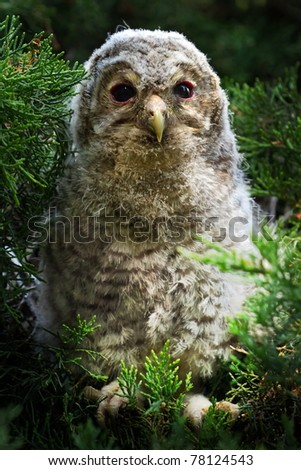 young Tawny Owl sitting in the bushes in the evening - stock photo