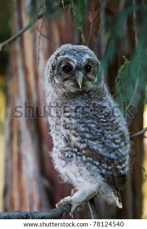 young Tawny Owl sitting on a conifer branch in the evening - stock photo