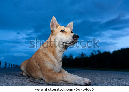 young Thai dog is sitting in twilight blue sky