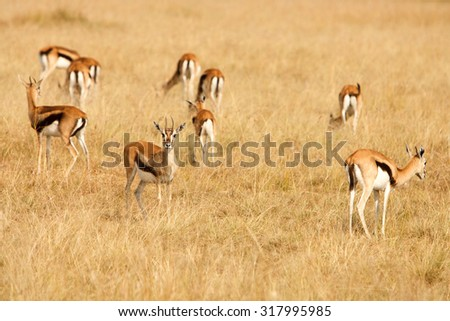 Young Thomsons gazelles (Eudorcas thomsonii) in a group, grazing on grass of African savanna. Wildlife observation and conservation, tourist safari, animals in the wild concept.  - stock photo