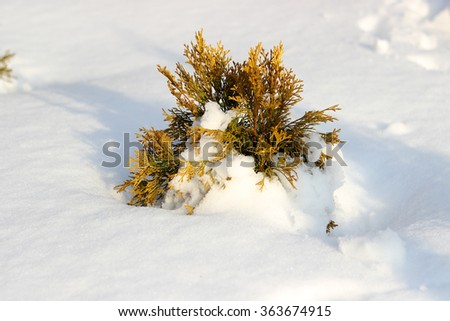 Young Thuja in snow, winter sunny day - stock photo