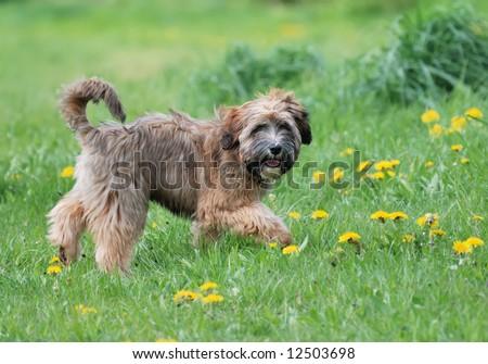 Tibetan Terrier Stock Photos, Images, & Pictures | Shutterstock