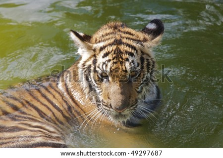 Young tiger at the Tiger Kindgom Park - Chiang Mai, Thailand - stock photo