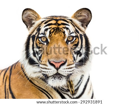 Young tiger isolated on white background - stock photo