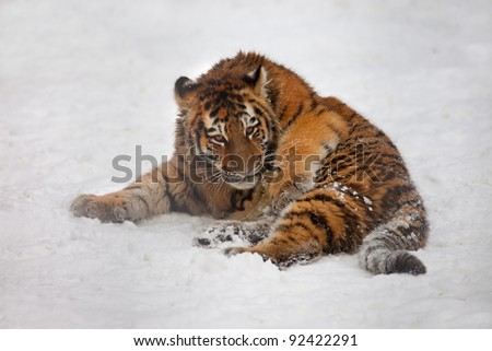 young tiger lie on snow - stock photo