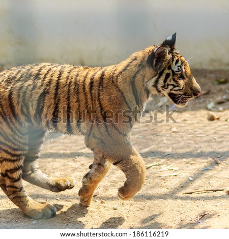 Young tiger running in zoo - stock photo