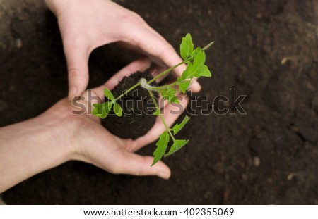 Young tomato in hands with ground on dark background. early spring