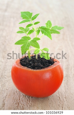 Young tomato plant growing, evolution concept - stock photo