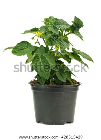 Young tomato plant in pot on a white background