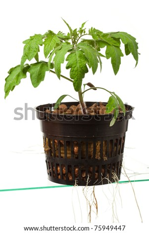 young tomato plant with roots, isolated on white - stock photo
