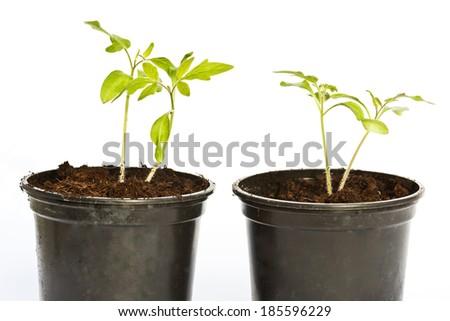 young tomato plants. - stock photo