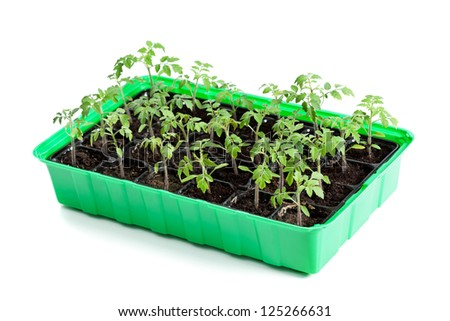 Young tomato plants in germination tray ready to be planted outside - isolated - stock photo