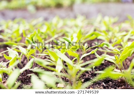 Young tomato seedling in greenhouse. Shallow focus. - stock photo