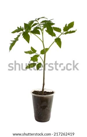 Young tomato seedling plant isolated on white background - stock photo