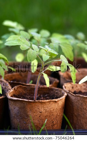 Young tomato seedlings