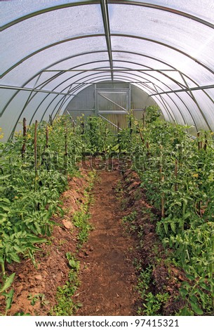 young tomatoes in plastic hothouse - stock photo