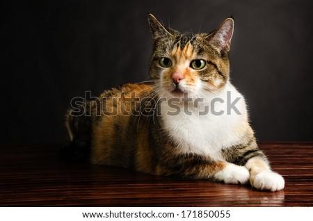 Young Torbie Kitten Cat Posing - stock photo