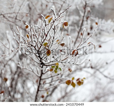 Young tree branches and leaves covered with hoarfrost. Close up. - stock photo
