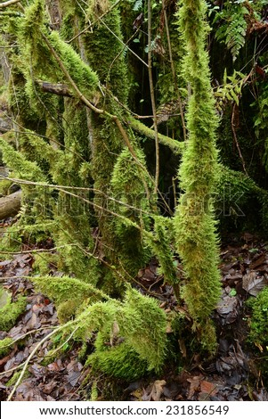 Young trees covered with moss.