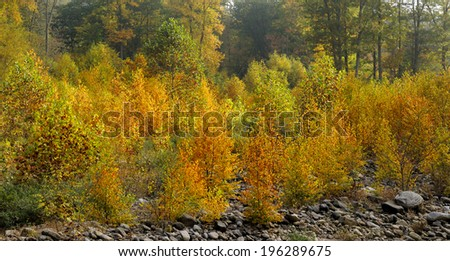 Young Trees in Fall Colors  - stock photo