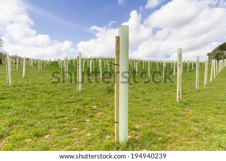 Young trees planted in protective tubes to create new woodland - stock photo