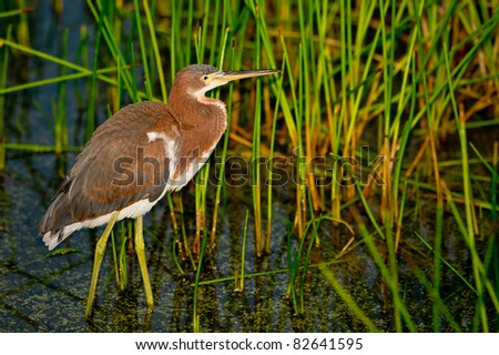 young tri-colored heron wades in reeds of wetland pond before dawn, fill flash - stock photo
